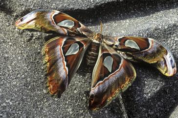 Giant Atlas Moth, British Columbia, Canada.