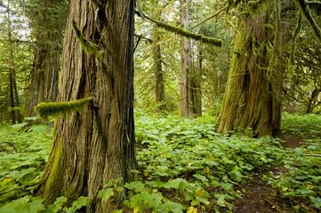 Old-growth cedars (Thuja plicata) in Snootli Regional Park, Bella Coola, British Columbia
