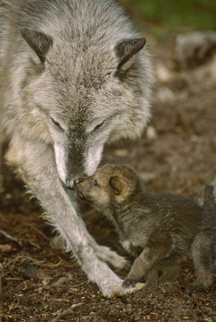 Mother wolf, (Canis lupus),  greets pup, 2.5 weeks old, near forest den, Montana, United States of America