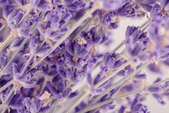 Closeup lavender flowers