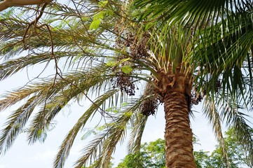 Krone date palm against the blue sky, dates, Egypt, Africa