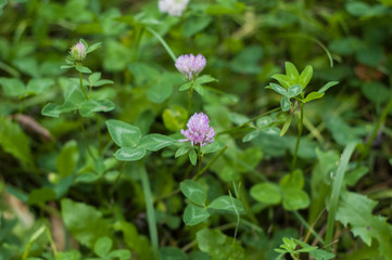 Clover flower on a background of green leaves and grass.