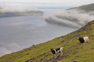 Sheep ram in far faer oer island landscape