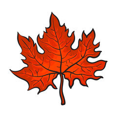 Beautiful red colored autumn maple leave, vector illustration isolated on white background. Botanical drawing of a red maple leaf, fall season, autumn decoration element