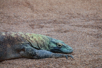 close-up of komodo dragon lying in the sand