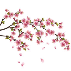 Sakura blossom - Japanese cherry tree isolated on white backgrou