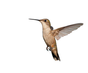 Female Ruby-throated Hummingbird hovering; isolated on white