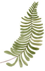 tropical fern frond tree leaf plant botanic watercolor painting on white background