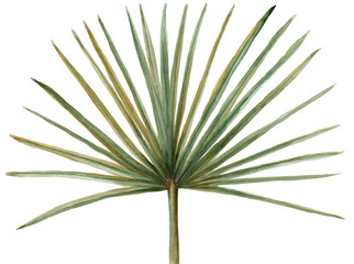 Watercolor green palm leaft isolated. Hand painted illustration