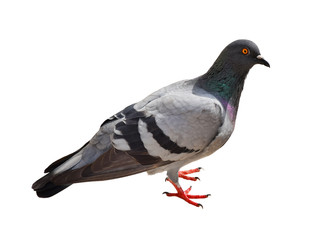 Grey dove, pigeon isolated on white background.