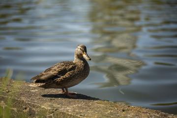 Mandarin ducks and stork on the stone at the pond of Minsk, Belarus