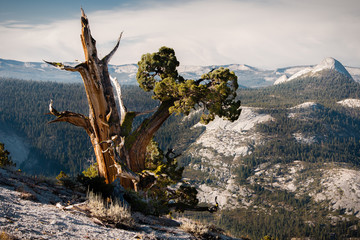 Bristlecone tree, Yosemite, USA