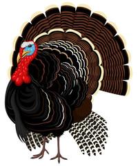 Vector illustration of a male wild turkey.
