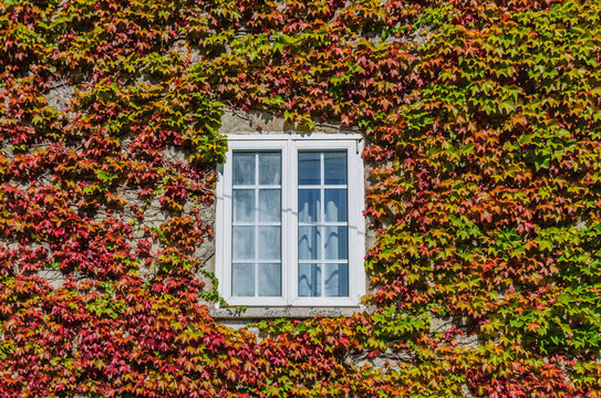 White window covered by creeper ivy