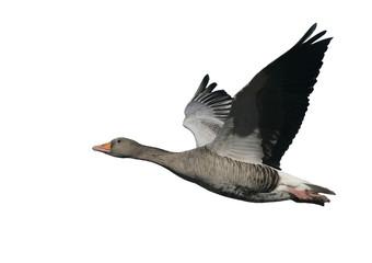 Fotoväggar - Greylag goose, Anser anser
