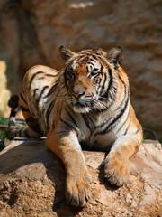 Portrait of the big tiger, Thailand