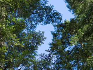 Bottom view of the sky through the branches of the pines