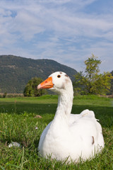 Goose resting on a grass