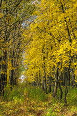Autumn landscape with maple forest and fallen leaves