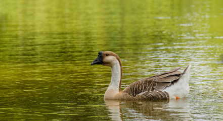 Grey Goose swimming in a large pond.