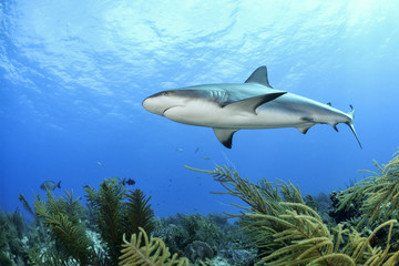 Shark and Coral Reef