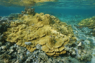 Rice coral Montipora underwater in shallow water of the lagoon of Vitaria, Rurutu island, Pacific ocean, Austral archipelago, French Polynesia