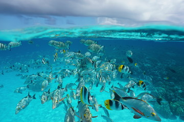 Above and below sea surface, shoal of tropical fish underwater with cloudy sky, natural scene, lagoon of Rangiroa, Tuamotu, Pacific ocean, French Polynesia