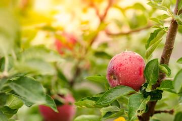 Wall Mural - Apple tree