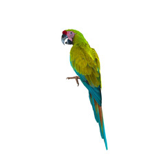 Beautiful bird macaw , Bird parrot  isolated on white background