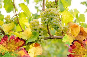 Fototapete - Weinlese, Weinanbau, Weinberg: Reife Trauben in der Pfalz :)
