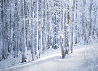 Beautiful snowfall in dreamy winter forest landscape. Blue color tone used.