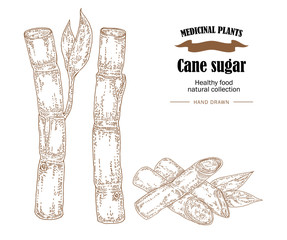 Cane sugar vector illustration. Hand drawn medicinal plants