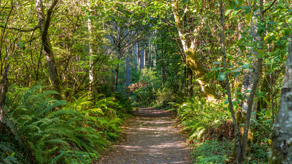 A path in the thick green forest. Green fern growing on the sides of the path. The sun's rays fall through the leaves. Bridle Trails State Park, WA
