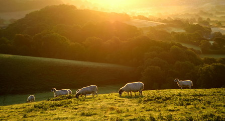 Wall Mural - Flock of sheep grazing at sunrise in a field of Marshwood Vale in Dorset AONB (Area of Outstanding Natural Beauty)