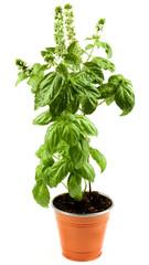 Blooming Green Basil