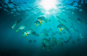 A large school of batfish swimming through the beautiful blue ocean with the light filtering through the surface