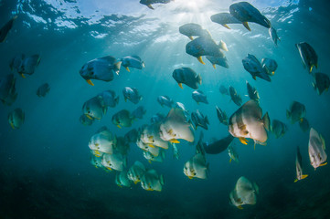Fototapete - A shoal of batfish swimming through the beautiful light rays in a blue, clear ocean
