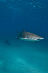 Fototapete - A lemon shark swimming through a blue ocean with a diver in convoy