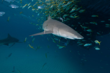 Fototapete - A lemon shark swimming by a school of fish that are seeking sanctuary underneath a dive boat in the Bahamas