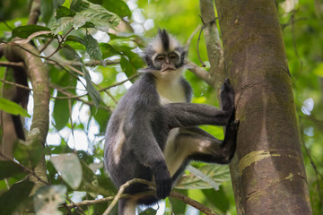 Grey Langur sits on Thomas Werke Tolt tree trunk and is backed on the foot and looking at the camera (Sumatra, Indonesia)