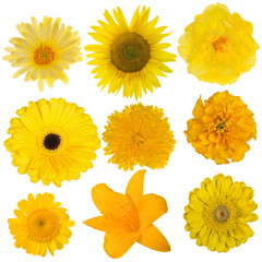 set of nine yellow blooms isolated on white
