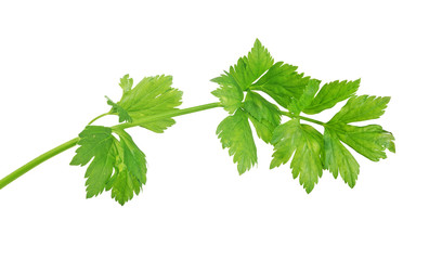 isolated bright green parsley
