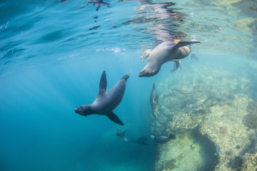 Curious California sea lion pups (Zalophus californianus), underwater at Los Islotes, Baja California Sur, Mexico, North America