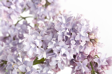 Flowers lilac. Isolated