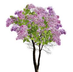 tree lilac blossom on white