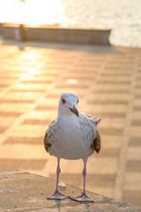 Севастопольские чайки