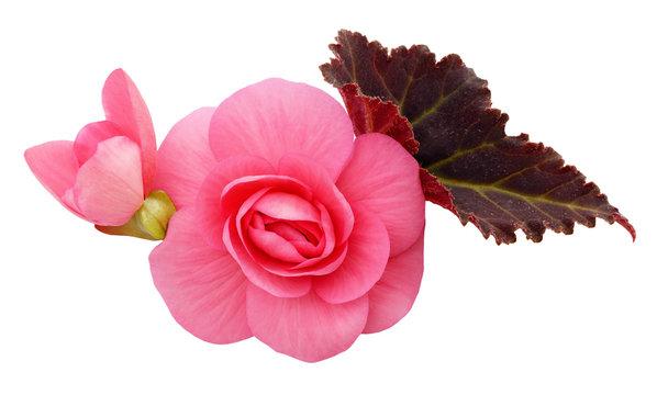 Pink begonia flowers arrangement