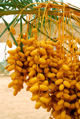 Palm tree with clusters of fruits