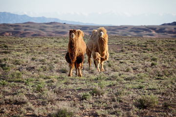 Molting brown bactrian camels in desert of National park Charyn,  Kazakhstan