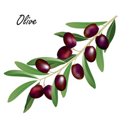 Olive branch (Olea europaea). Hand drawn realistic vector illustration of olive tree branch with leaves and black olives on white background.